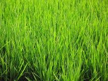 Plantas de arroz Fotos de archivo