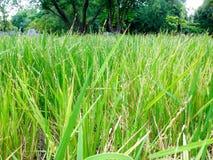 Plantas de arroz Imagem de Stock Royalty Free