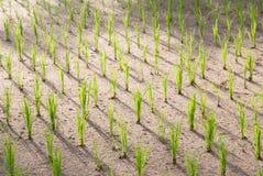 Plantas de arroz en Bali, Indonesia Imágenes de archivo libres de regalías
