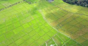 Plantas de arroz en Paddy Field metrajes