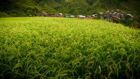 Plantas de arroz jovenes que brillan intensamente verdes y amarillas con el pueblo de Maligcong en Dista Foto de archivo