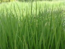 Plantas de arroz verdes Fotografía de archivo libre de regalías