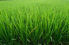 Plantas de arroz verdes en campos de la irrigación Imagen de archivo