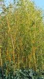Plantas de bambú finas imagen de archivo