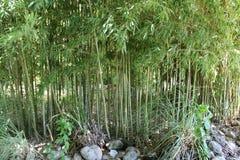 Plantas de bambú verdes Fotos de archivo libres de regalías