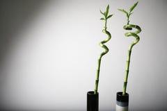 Plantas de bambú Foto de archivo libre de regalías