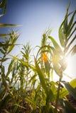 Plantas de bambú de los bastones con los rayos de la puesta del sol y del sol Cielo azul en el fondo Imágenes de archivo libres de regalías