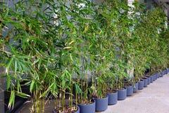 Plantas de bambú en potes Imagen de archivo libre de regalías