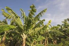 Plantas de banana na plantação tropical da exploração agrícola Imagens de Stock Royalty Free