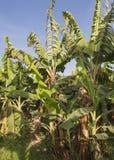 Plantas de banana na plantação tropical da exploração agrícola Foto de Stock Royalty Free