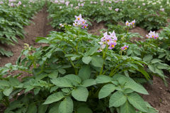 Plantas de batata de florescência roxas Imagens de Stock