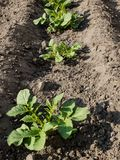 Plantas de batata novas na mola foto de stock