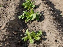 Plantas de batata novas na trincheira fotos de stock royalty free