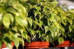 Plantas de Benjamina do Ficus no centro de jardim Foto de Stock