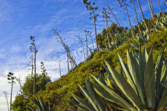 Plantas de California Imagen de archivo