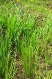 Plantas de cebola Fotos de Stock