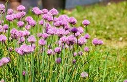 Plantas de cebola novas verdes da mola de l?minas na planta??o fotografia de stock royalty free