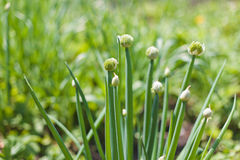Plantas de cebolla galesa Fotos de archivo