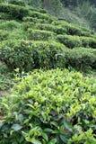 Plantas de chá Fotografia de Stock Royalty Free