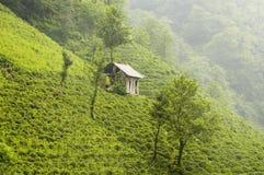 Plantas de chá Imagens de Stock
