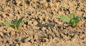 Plantas de cigarro fotografia de stock royalty free