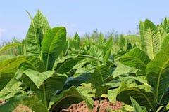 Plantas de cigarro Fotografia de Stock