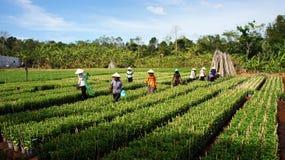 Plantas de colheita de trabalho do fazendeiro na vila da exploração agrícola. O LAM FAZ Imagens de Stock Royalty Free