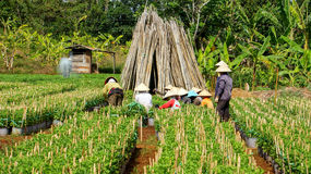 Plantas de colheita de trabalho do fazendeiro na vila da exploração agrícola. O LAM FAZ Foto de Stock Royalty Free