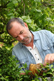 Plantas de corte do homem superior no jardim home Foto de Stock Royalty Free