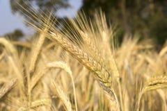 Plantas de Creal, Rye Fotos de archivo