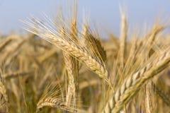 Plantas de Creal, Rye Fotos de archivo libres de regalías