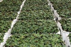 Plantas de Cyclamen Fotografia de Stock Royalty Free