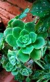 Plantas de Echeveria Foto de Stock