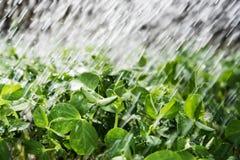 Plantas de ervilha novas Imagem de Stock Royalty Free