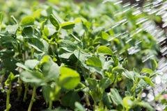 Plantas de ervilha novas Fotografia de Stock
