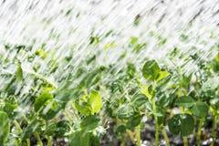 Plantas de ervilha novas Fotos de Stock