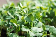 Plantas de ervilha novas Foto de Stock Royalty Free