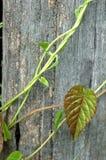 Plantas de escalada na madeira Imagem de Stock Royalty Free