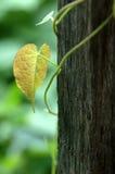 Plantas de escalada na madeira Fotografia de Stock Royalty Free