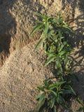 Plantas de espalhamento na terra arenosa Fotografia de Stock