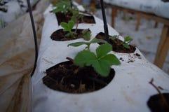 Plantas de estufa frescas dentro da estufa Imagens de Stock Royalty Free