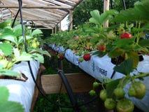 Plantas de estufa frescas dentro da estufa Foto de Stock