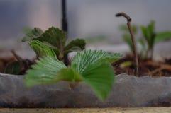 Plantas de estufa frescas dentro da estufa Imagem de Stock