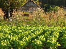 Plantas de feijão de soja imagem de stock royalty free