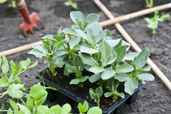 Plantas de feijão largo imagem de stock