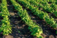 Plantas de feijão no campo imagens de stock royalty free