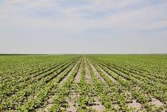 Plantas de feijão novas em um campo Foto de Stock Royalty Free