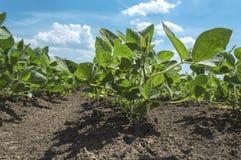 Plantas de feijão de soja que crescem na fileira no campo cultivado Fotos de Stock Royalty Free
