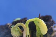 Plantas de feijão verde pequenas que crescem na terra que germina do processo da natureza do verão da primavera das sementes imagem de stock royalty free