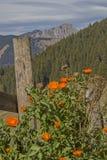 Plantas de florecimiento del gerbera contra un contexto de la montaña fotos de archivo